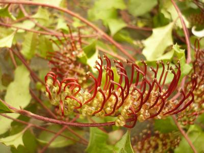 Grevillea repens Sailors Falls