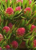 Leucadendron modestum Strawberry Fair