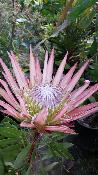 Protea cynaroïdes Mini King