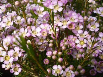 Chamelaucium uncinatum Strawberry Surprise
